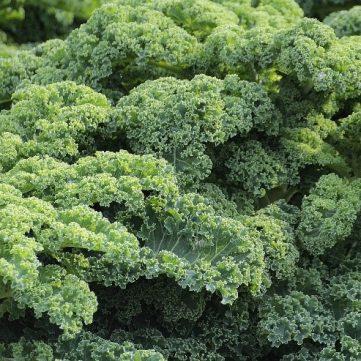 Grünkohl halbhoher grüner krauser