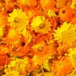 Ringelblume orange Calendula